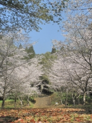 笠狭宮跡 桜満開 CBR250R 7