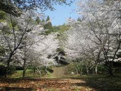 笠狭宮跡 桜満開 CBR250R 6