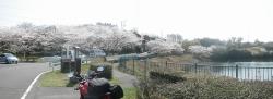 もうすぐ桜見頃塘之池公園 CBR250R 1