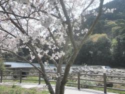 s-桜満開こせ渓谷 こせの滝魚道 CBR250R 7