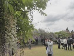 s-和気神社 和気公園藤まつり2014_4