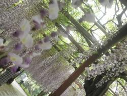 s-和気神社 和気公園藤まつり2014_5