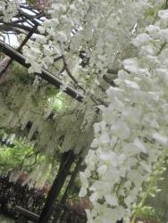 s-和気神社 和気公園藤まつり2014_6