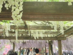 s-和気神社 和気公園藤まつり2014_7