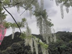 s-和気神社 和気公園藤まつり2014_8