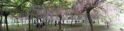 s-和気神社 和気公園藤まつり2014_9
