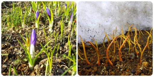 s-442-8クロッカス&原種チューリップの芽