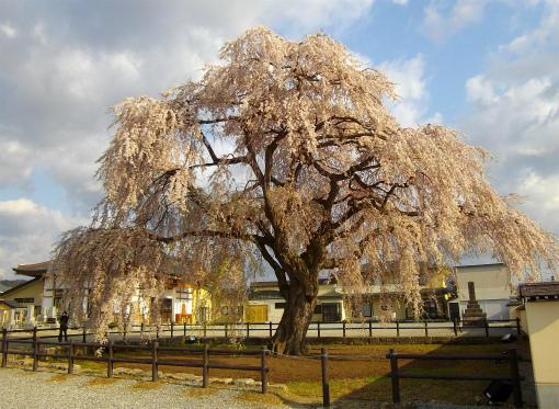s-450-1法亀寺の枝垂れ桜