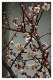 梅の木-3