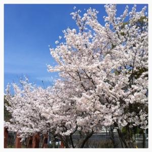 2014桜-1
