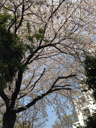 事務所桜2014