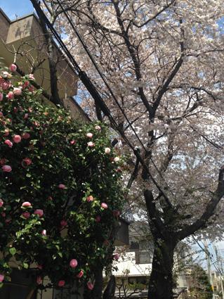 小平道場桜2014