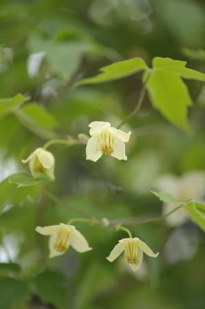 白花ハンショウヅル2014501-1