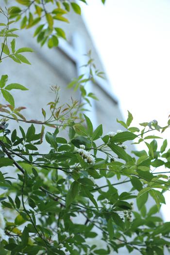 白モッコウ2014502-1