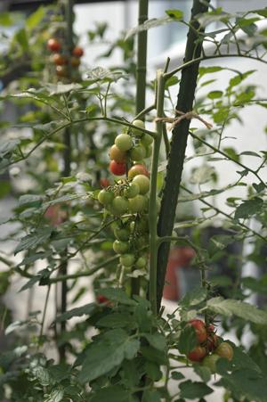 ミニトマト2014715-1