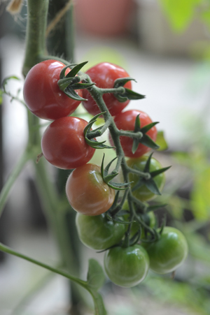 ミニトマト挿し芽2014720-2