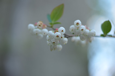 blueberry2014424.jpg