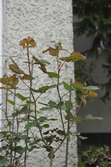 rose2014416-11.jpg