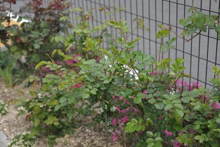 rose2014416-6.jpg