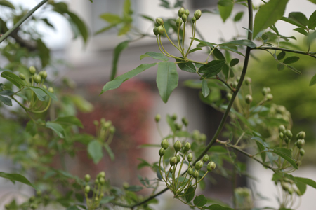 rose2014416-8.jpg