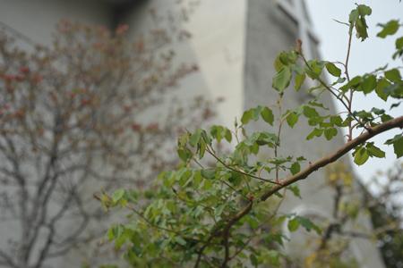 rose2014416-9.jpg