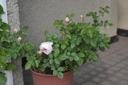 roses2014508-3.jpg