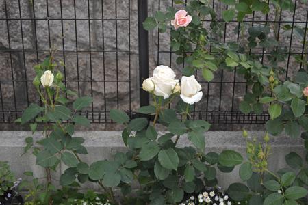 roses2014508-5.jpg