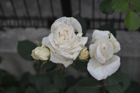 roses2014508-6.jpg