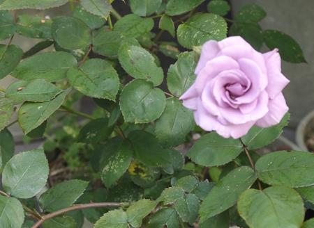 roses2014508-7.jpg