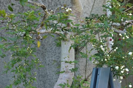 shiromokkou2014424-2.jpg