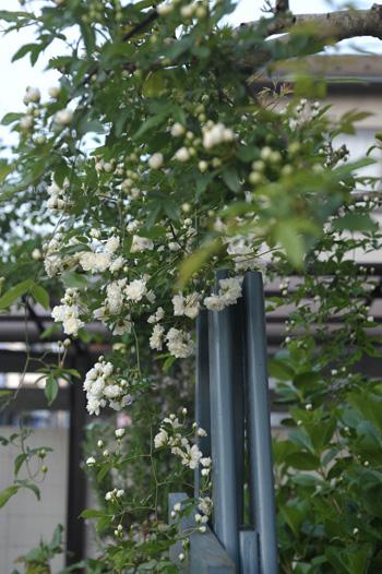 shiromokkou2014427-4.jpg