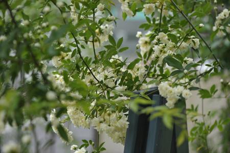 shiromokkou2014429-7.jpg