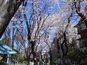お花見1~ソメイヨシノ