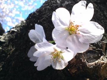 お花見7~幹から小さく
