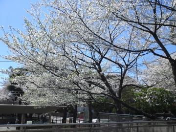 お花見8~オオシマザクラ