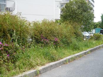 ローズ側道路側面雑草①