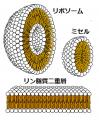 二重層・リポソーム・ミセル