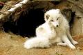 640px-Arctic-fox.jpg