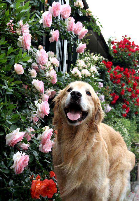 犬とバラの日々(15) 0515