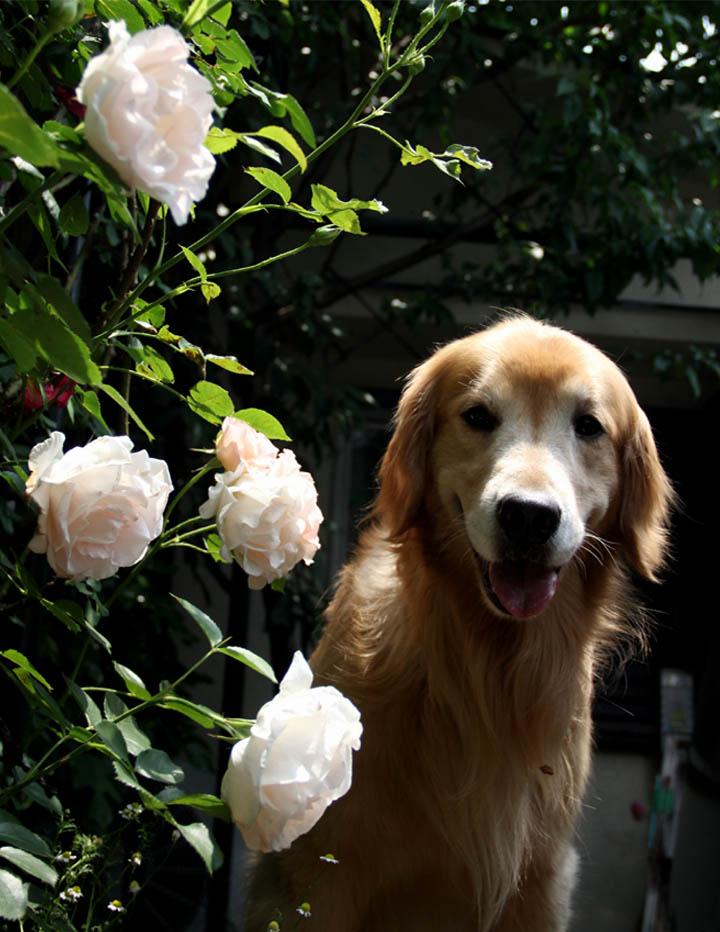 犬とバラの日々(17) 0520