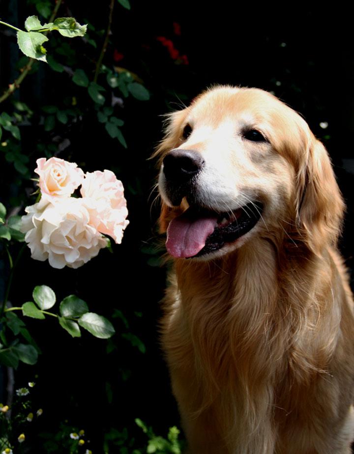 犬とバラの日々(18) 0520