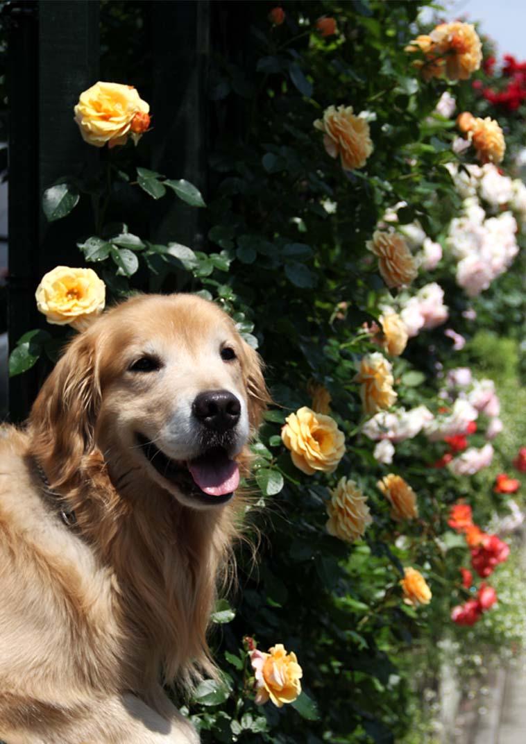 犬とバラの日々(20) 0522