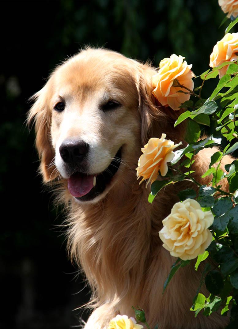 犬とバラの日々(21) 0522