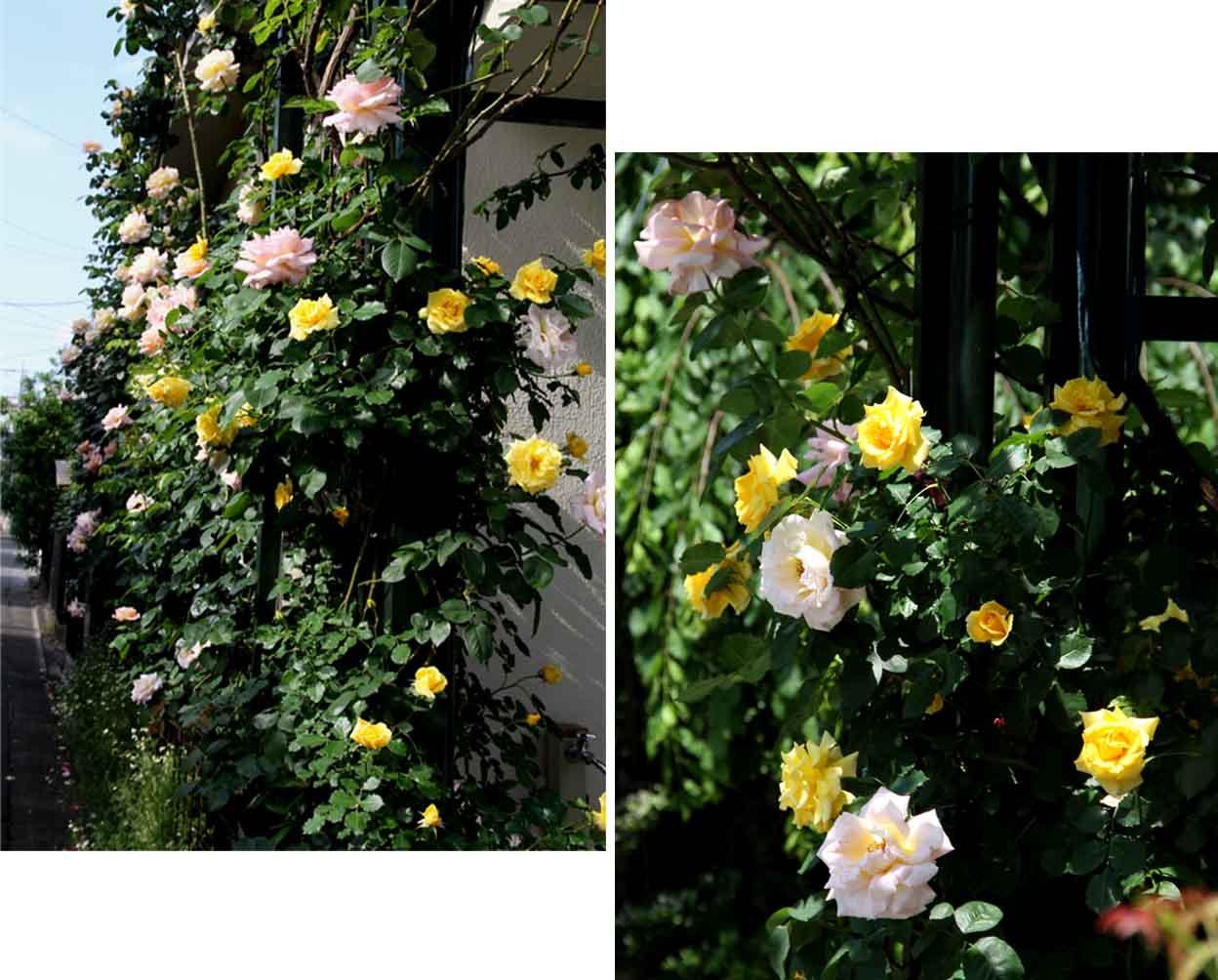 終盤のバラ模様(4) 1週間ほど前の様子