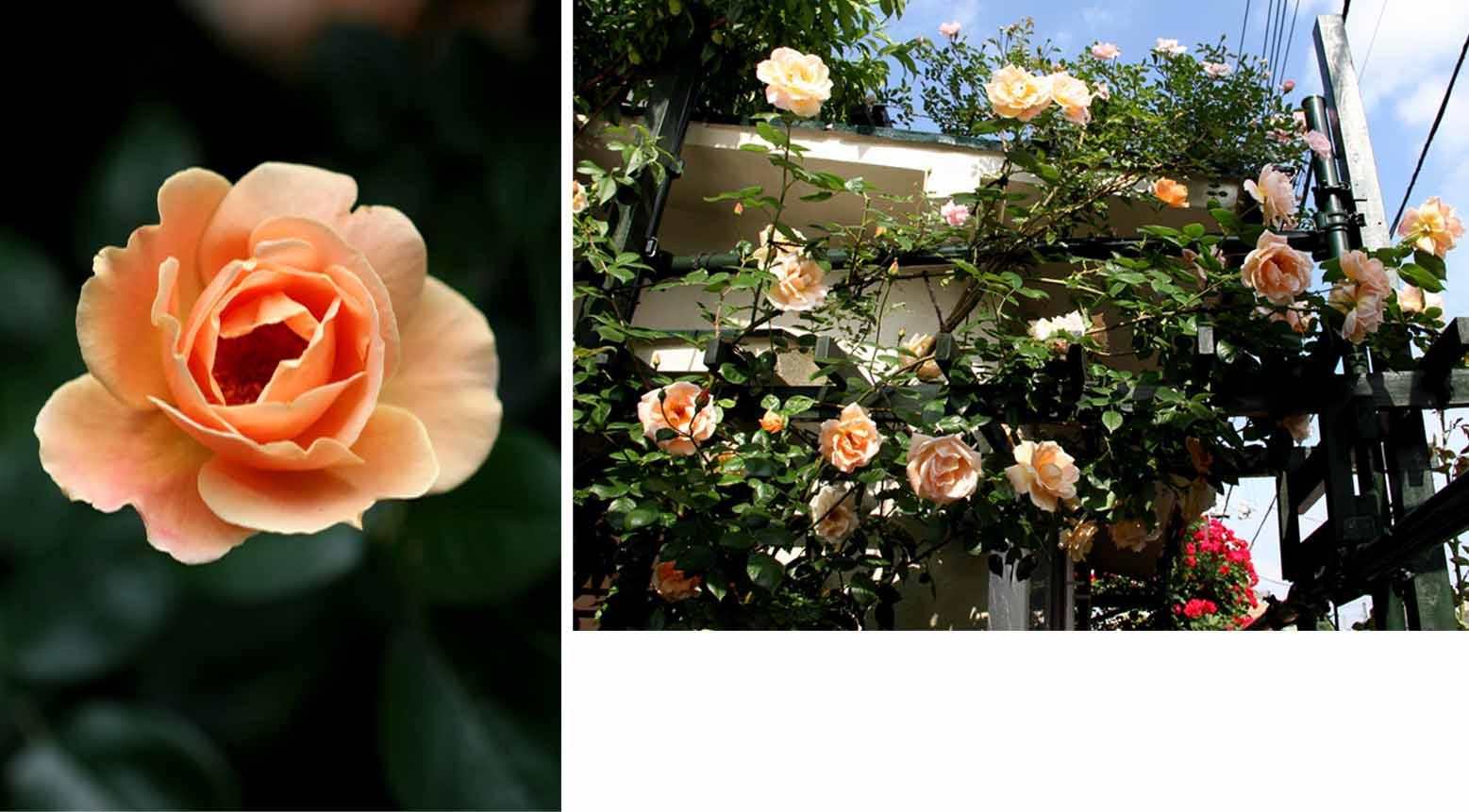 終盤のバラ模様(6) 1週間ほど前の様子