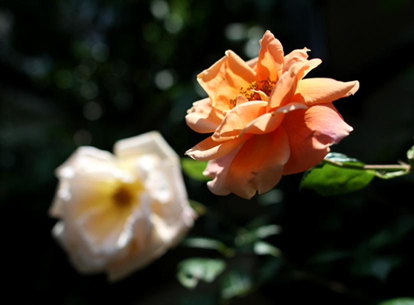 終盤のバラ模様(7) 現在の様子