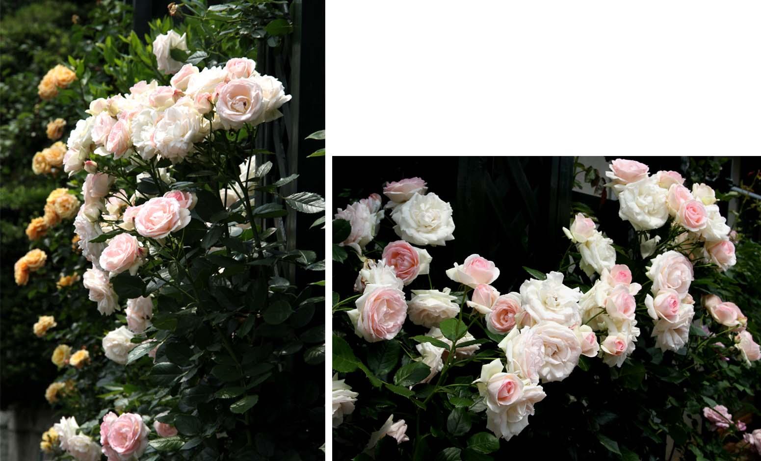 終盤のバラ模様(13) 現在の様子