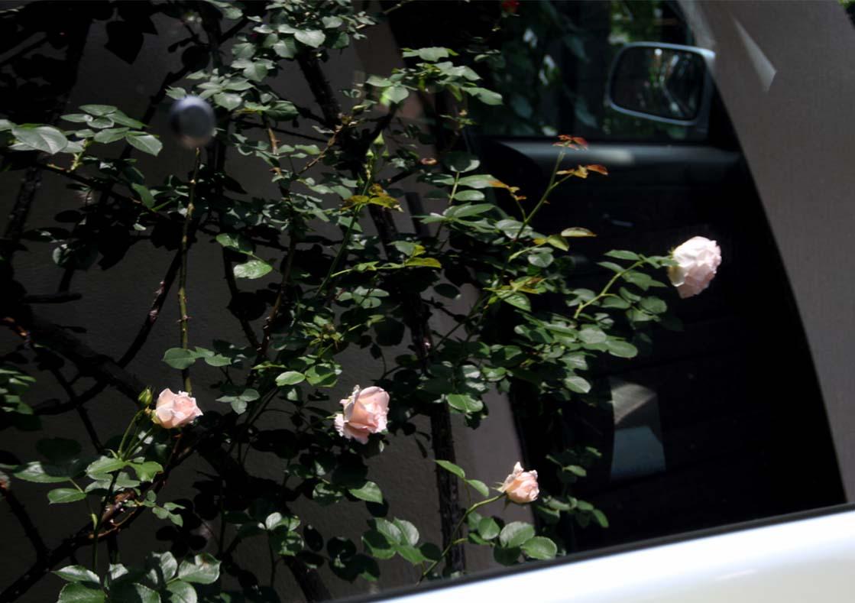 虚像(鏡像)のバラ(2)