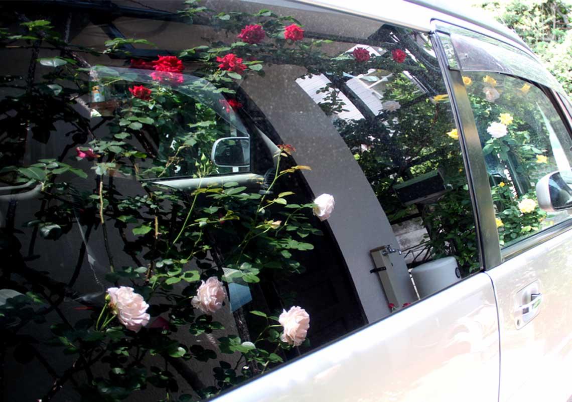 虚像(鏡像)のバラ(3)