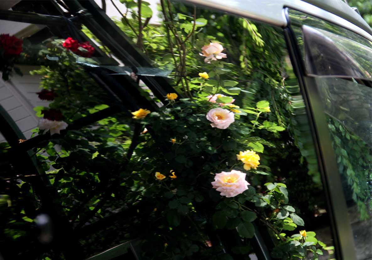 虚像(鏡像)のバラ(4)